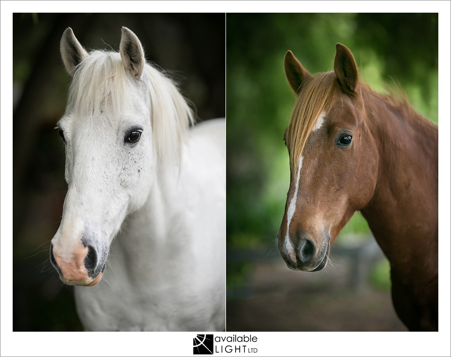 auckland horse photography